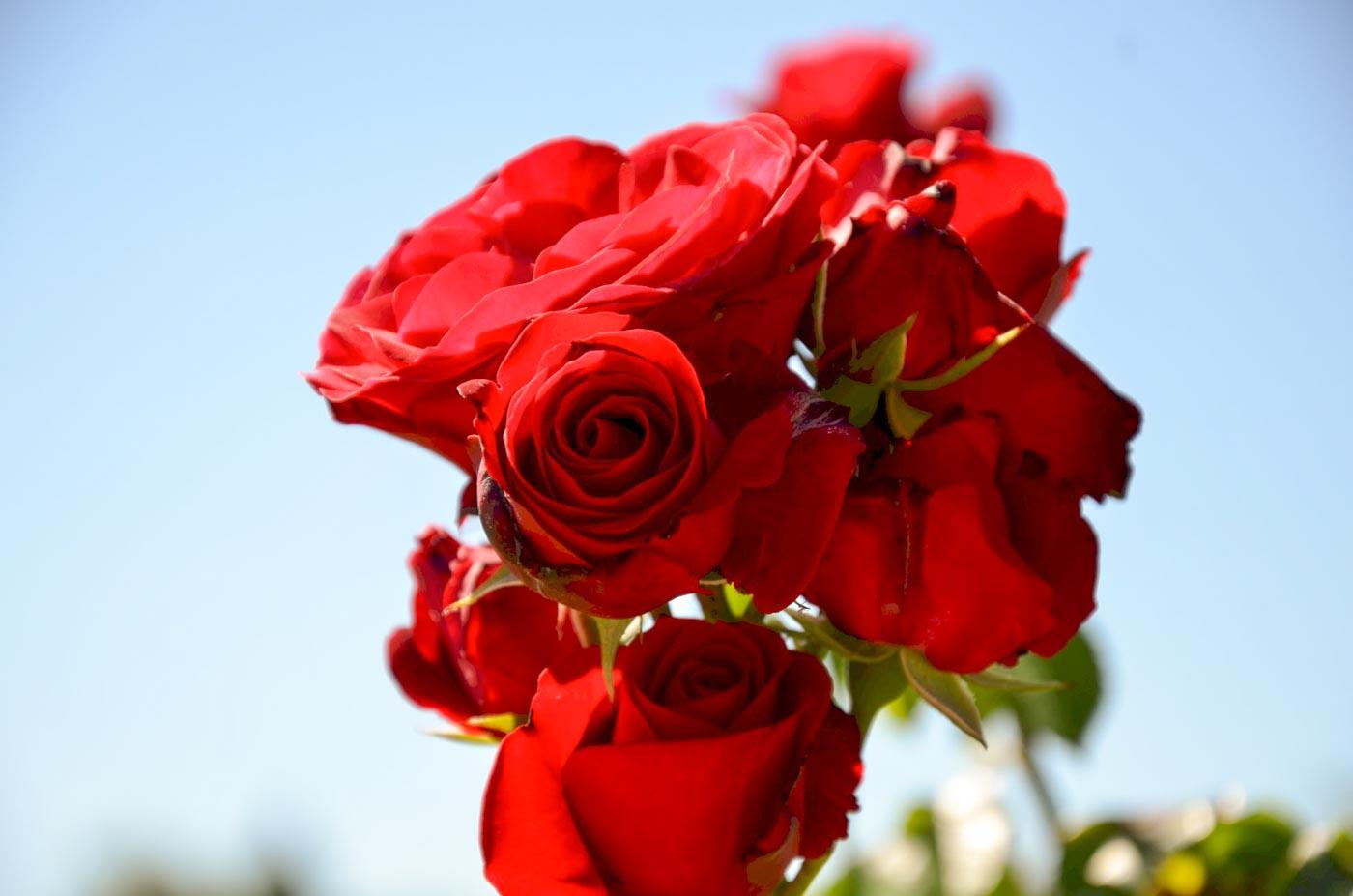 Giardino giapponese di Parigi particolare delle rose rosse