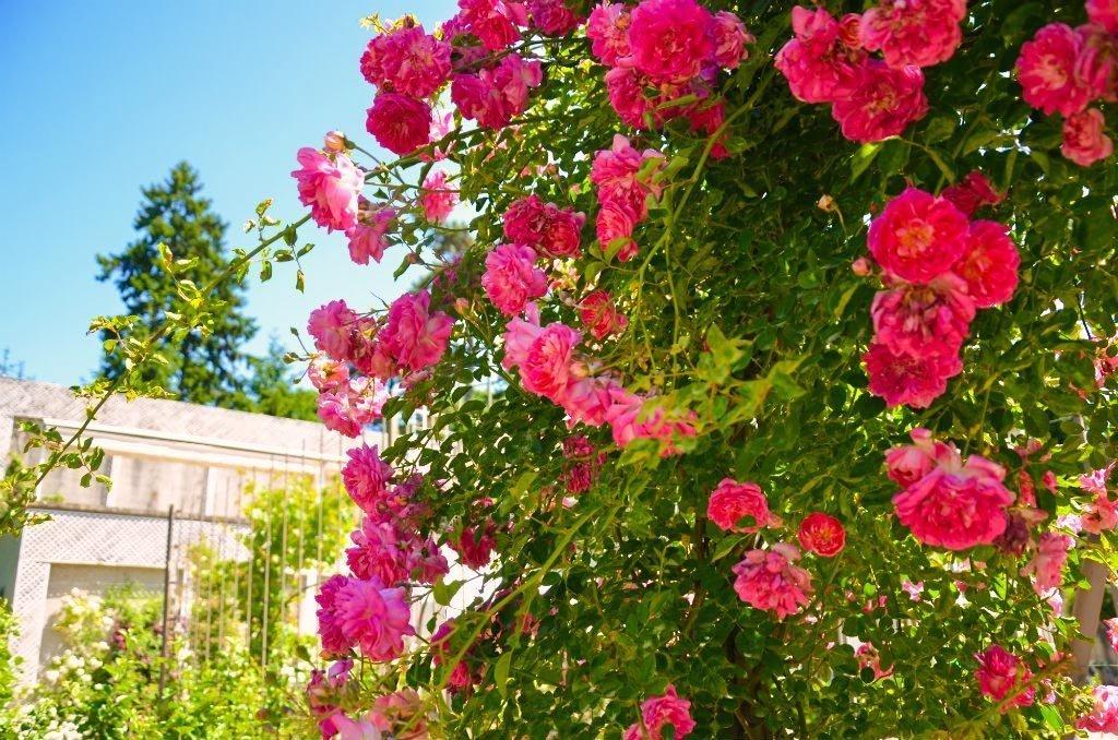 Rose canine al giardino albert kahn